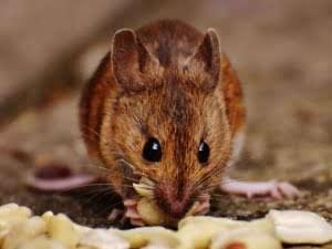 rats and mice perth